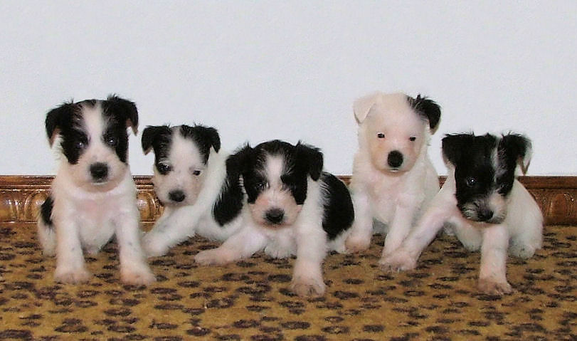 AKC Black & White Parti Miniature Schnauzers by Destiny Blooms