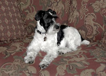 Destiny Blooms AKC Black & White Parti Miniature Schnauzer