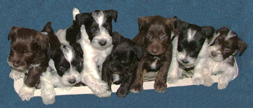 AKC Chocolate (Liver), Chocolate (Liver) & Whtie Parti, Black and Black & White Parti Miniature Schnauzer Puppies by Destiny Blooms