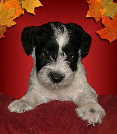 AKC Black & White Parit Miniature Schnauzer by Destiny Blooms
