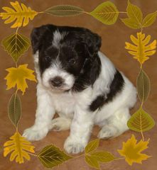 Destiny Blooms AKC Chocolate (Liver) & White Parti Miniature Schnauzer