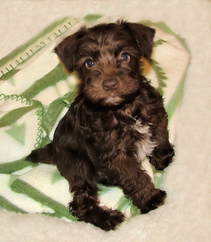 Miniature Schnauzer Chocolate Brown For Sale