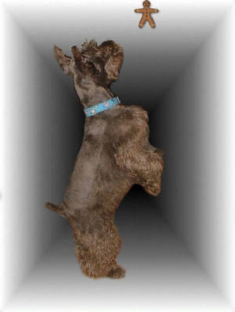 AKC Chocolate (Liver) Miniature Schnauzer by Destiny Blooms