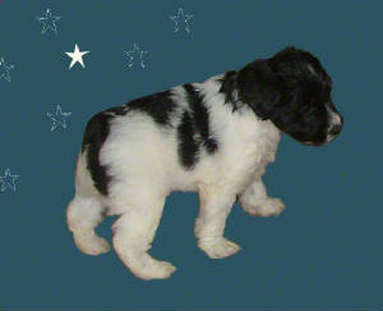 AKC Black & White Parti Miniature Schnauzer by Destiny Blooms
