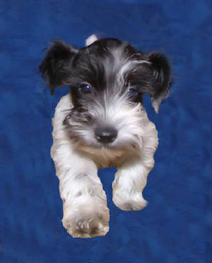 Chocolate And White Parti Schnauzer